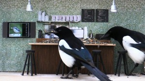 Magpies at work Piip-show bar